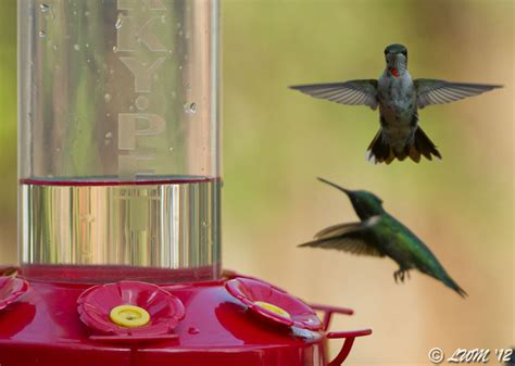 male ruby throated hummingbirds fighting over feeder