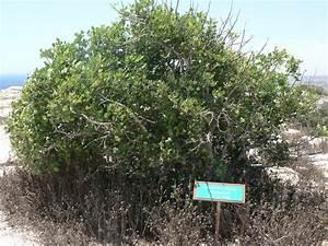 Сироп рожковое дерево для похудения