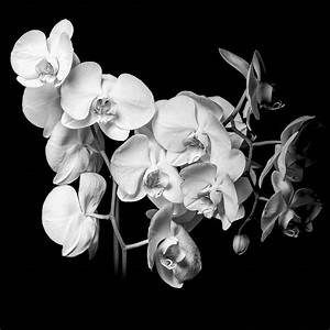 White Orchid - Black And White Photograph by Erik Brede
