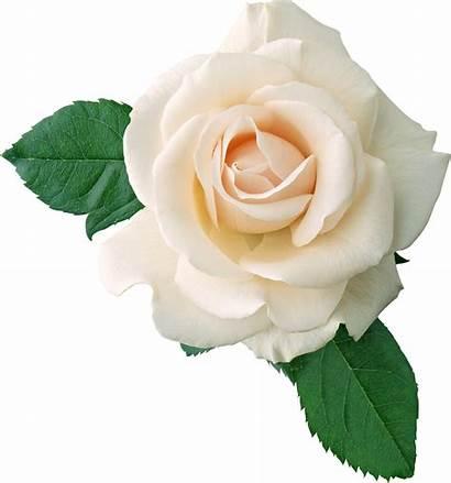 Rose Flower Transparent Roses Background