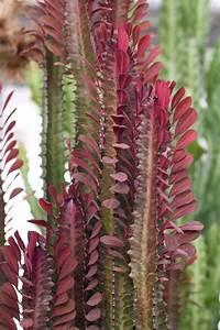 Euphorbia Trigona Vermehren : 91 best euphorbia images on pinterest gardening nature and plants ~ Orissabook.com Haus und Dekorationen
