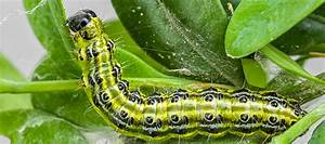 Box Tree Caterpillar Tops The List Of Garden Pests