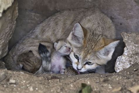 Watch Newborn Sand Kittens Delight At Israeli Zoo The