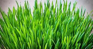 Health Benefits Of Wheatgrass  U0026 Barley Grass