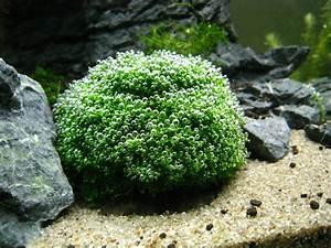 Aquabie  Plant   Riccia Fluitans  Crystalwort