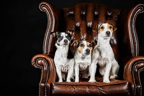 fonds decran chien trois  fauteuil jack russell terrier