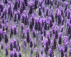 Sample Doctor Note Lavandula Dentata French Lavender Tube Stock