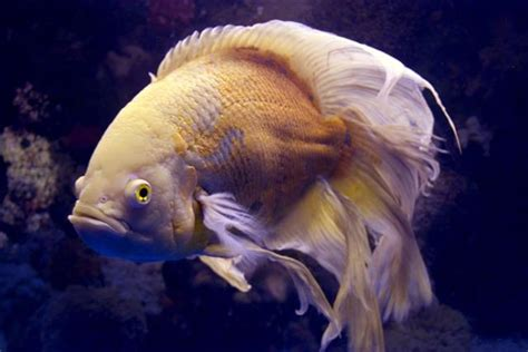 types  oscar fish pet ponder