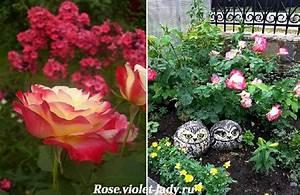 Двухцветная чайногибридная роза Double Delight