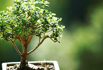 bonsai tree care  beginnerseverything
