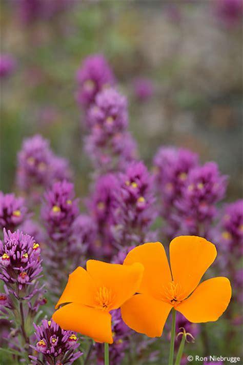 arizona desert wildflower