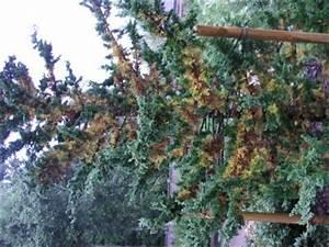 Zypresse Wird Braun : meine zypresse wessli wird braun pflanzenkrankheiten ~ Lizthompson.info Haus und Dekorationen