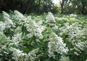 Hydrangea Paniculata Schneiden : hortensien pflege schneiden hydrangea macrophylla ~ Lizthompson.info Haus und Dekorationen