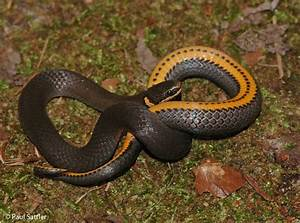 Southern Ring-necked Snake