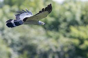 Flying Hawk Stock Images - Download 10,035 Royalty Free Photos