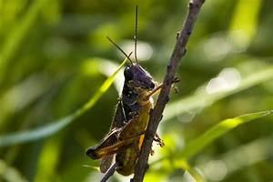 Minnesota Seasons - red-legged grasshopper