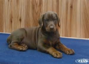 Red Rottweiler Puppies