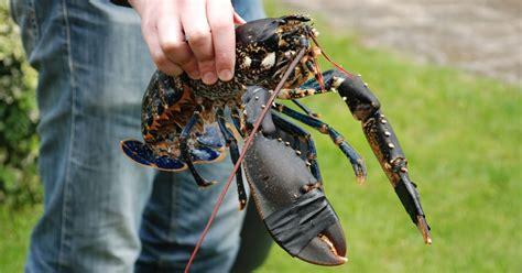 cuisiner un homard ca bouffe un doberman homard breton juste rôti au four