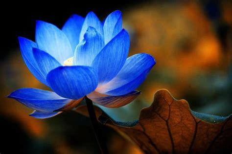 beautiful collection  incredible lotus flowers