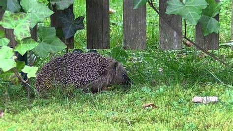 Maulwurfbekämpfung Im Garten igel im garten tierfilm