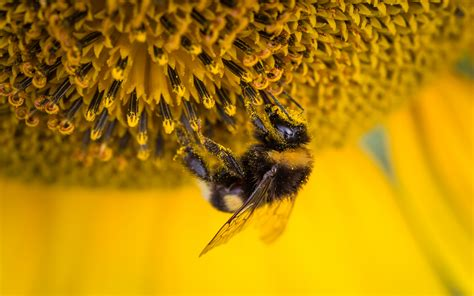 wallpaper bee sunflower bee pollen  animals