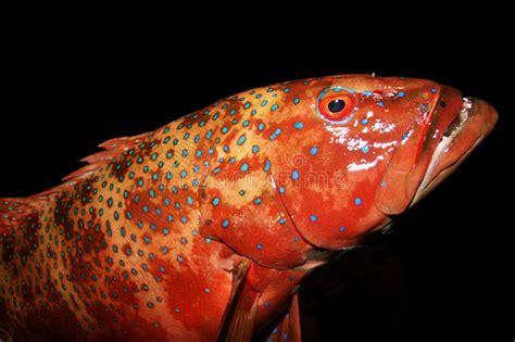 grouper roter barsch cernia rossa spotted purple bluespotted argus cephalopholis seafan gebackener