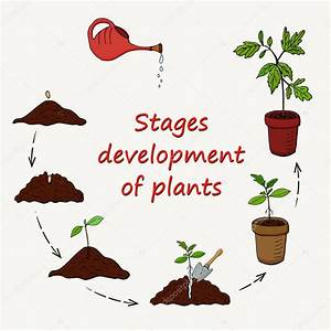 Diagram Stages Growing Plants Seed Planting Pot Vector