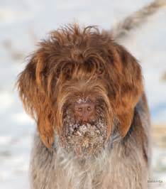 1000 images about wirehaired pointing griffon on