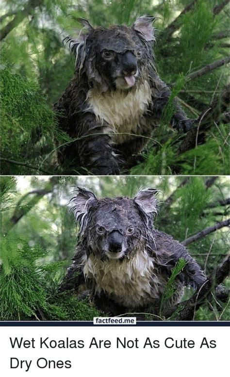 factfeed  wet koalas    cute  dry  cute