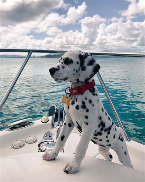 Boat Ride To Dog Island by Dalmatian Excited For A Boat Ride Dog Dogs Cute Boat