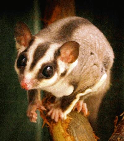 sugar glider facts salman s pets my blog to share tips regarding pet care page 4