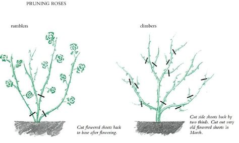 when do you prune roses pruning roses and climbers