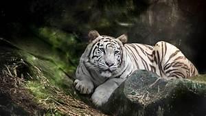Tigre blanco en la selva Full HD en Fondos 1080