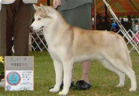 siberian husky dog breed information pictures