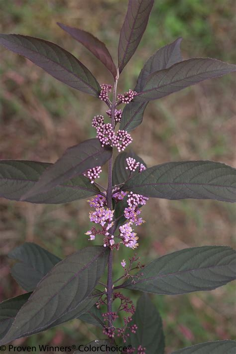 purple pearls beautyberry callicarpa  images