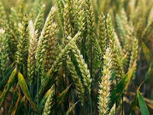 Wheat rust: The fungal disease that threatens to wipe out ...