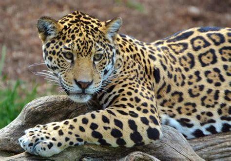 5 Interesantes Diferencias Entre Leopardos Y Jaguares