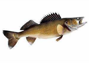 Walleye Clipart - schliferaward