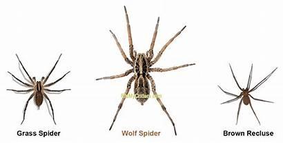 Wolf Spiders Grass Rid Spider
