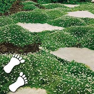 Hang Bepflanzen Bodendecker : sternmoos bodendecker gartenanlage pinterest ~ Lizthompson.info Haus und Dekorationen