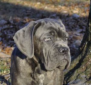 Cane corso italiano, learn how to housebreak a puppy in 6