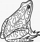 Frog Coloring Realistic Amphibian Printable Frogs Sheets Disegnare Clipart Rana Colorare Rane Above Challenge sketch template