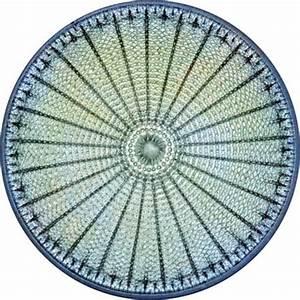 diatom | Description, Characteristics, & Reproduction ...