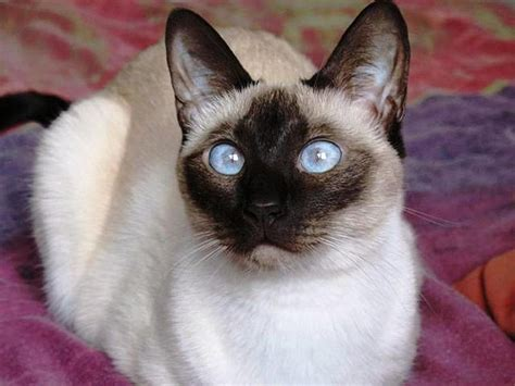 cat siamese expensive most breeds cats mostly facts