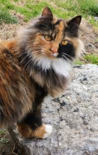calico cats haired calico cat breeds picture