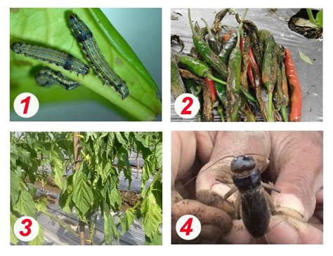 mengendalikan  jenis hama penyakit tanaman cabai