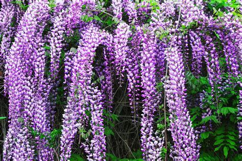 pianta di glicine in vaso come coltivare il glicine in giardino o in vaso sul