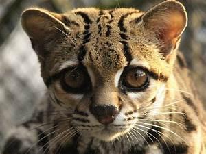 Fauna brasileira: espécies em extinção na caatinga Pensamento Verde