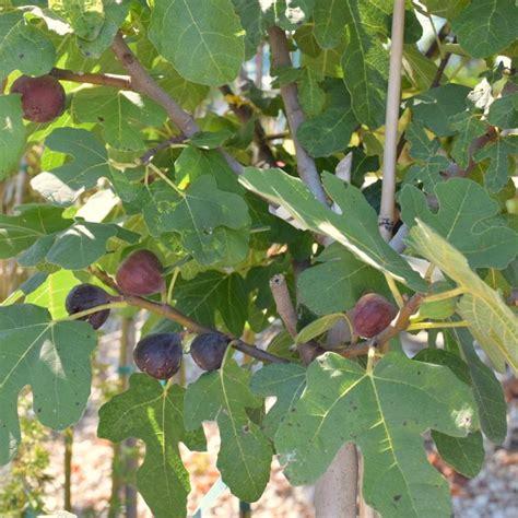 indoor citrus tree chicago hardy fig fig trees stark bro 39 s