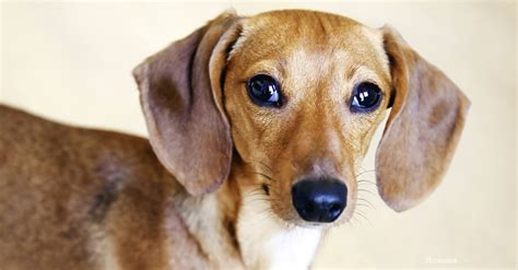 ear infections  dogs pain  swelling   canines